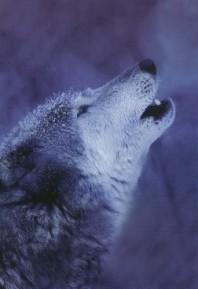 loup hurle